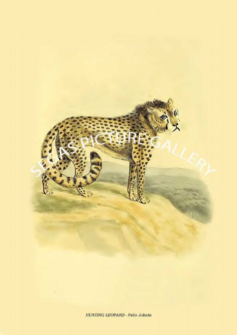 Fine art print of the HUNTING LEOPARD - Felis Jubata by Edward Griffith (1829)